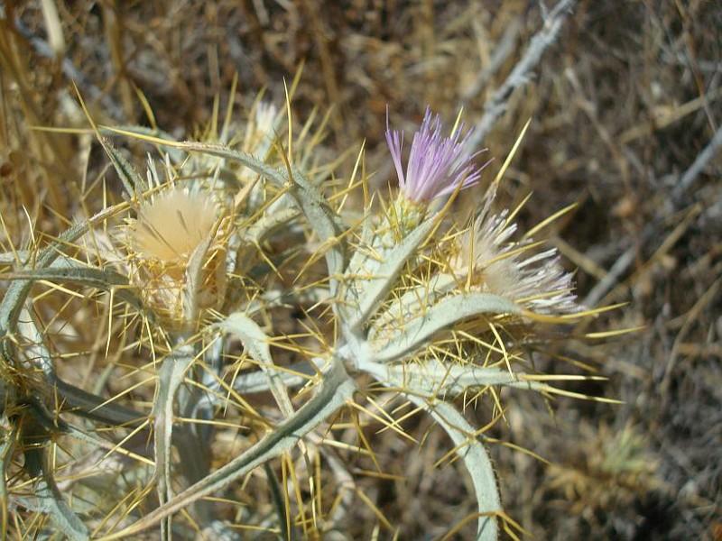 Picnomon acarna - Πίκνομο - Syn; Carduus acarna Cirsium acarna (2)
