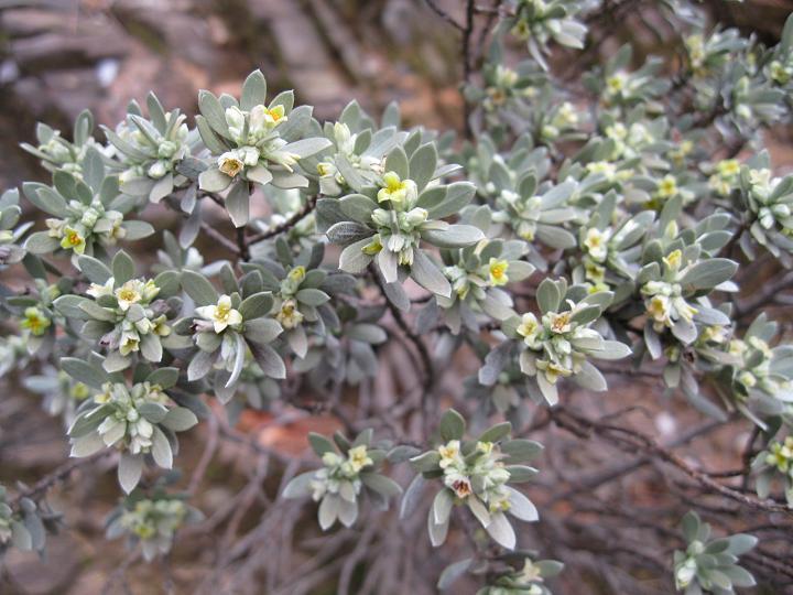 Thymelaea tartonraira (2)
