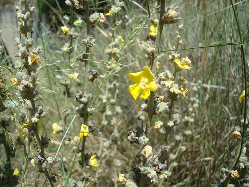 Verbascum undulatum (1)