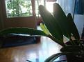 Cattleya lueddemanniana tipo