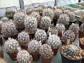 0048. Astrophytum caput-medusae and Ferocactus in 1 plant