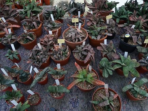 19 Gasteria maculata crest. = bicolor