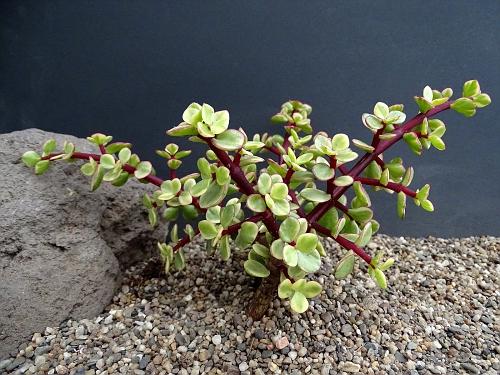 Portulacaria afra fa. variegate fa minor