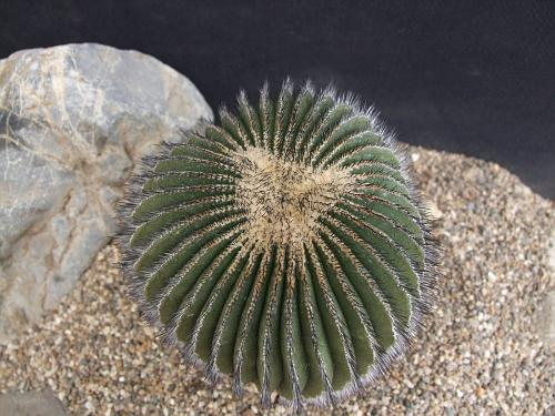 Uebelmannia pectinifera v. crebispina