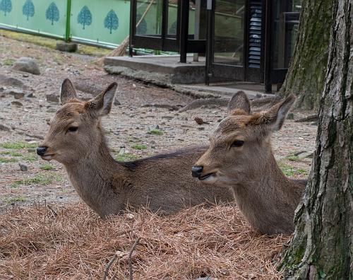 000 nara deer