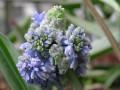 Muscari 'Blue spike'