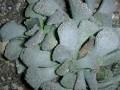 Titanopsis fullerii