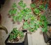 Oxalis megalorrhiza