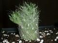 Tephrocactus rauhii KK 393