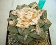 Ariocarpus lloydii -> Ariocarpus fissuratus