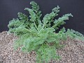 Pelargonium apendiculatem