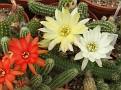 Chamaecereus silvestri 3 color flowers