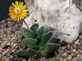 Aloinopsis malherbei Vosfontein