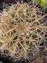 Gymnocalycium carenasianum