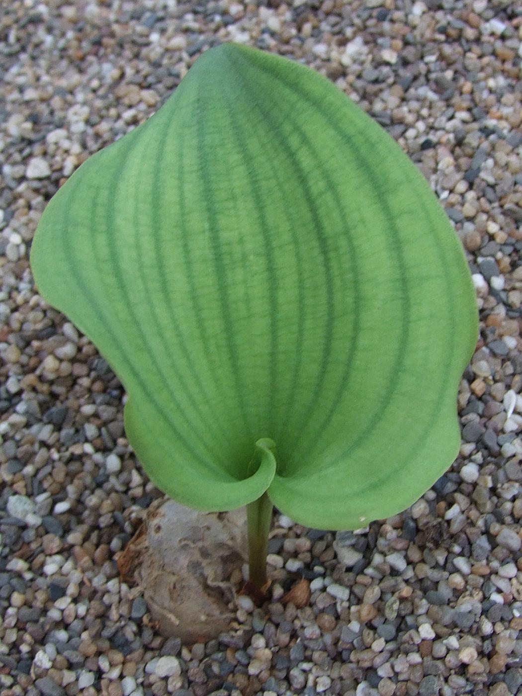 Eriospermum breviceps Humansdorp