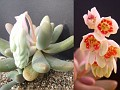 Pachyphytum oviferum  X P  viride