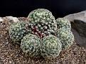Mammilaria schiedeana