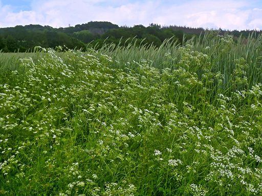 Blütenhaufen am Kornfeld