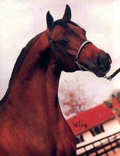 AA-QUEST #173599 (*Bask++ x *Elipsa, by *Pietuszok) 1978 bay stallion bred by Alduro Arabian Farm